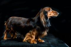 Dachshund on a dark background Stock Image