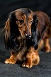 Dachshund on a dark background Royalty Free Stock Photo