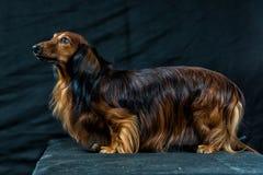 Dachshund on a dark background Royalty Free Stock Photos