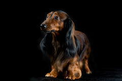 Dachshund on a dark background Royalty Free Stock Images