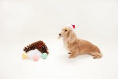 Dachshund de la Navidad Foto de archivo libre de regalías