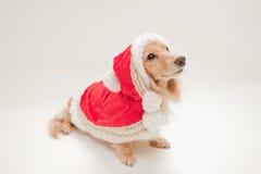Dachshund de la Navidad Imagenes de archivo