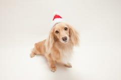 Dachshund de la Navidad Fotografía de archivo