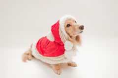 Dachshund de Noël Images stock