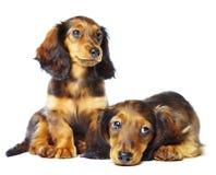 Dachshund de Puppys Imagem de Stock Royalty Free