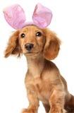Dachshund del coniglietto di pasqua immagine stock