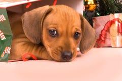 Dachshund del perrito foto de archivo libre de regalías