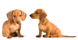Dachshund del perrito foto de archivo