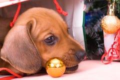 Dachshund del perrito imágenes de archivo libres de regalías