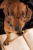 Dachshund del perro en vidrios y libro imagen de archivo libre de regalías