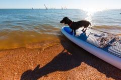 Dachshund, der auf Windsurfer am Strand sitzt Nettes schwarzes Hündchen ist liebevolle Brandung Lizenzfreies Stockbild