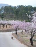 Dachshund, der durch rosa Mandelbäume läuft stockbilder