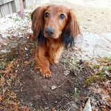 Dachshund digging in the garden. Industrious dachshund with a muddy nose stock image