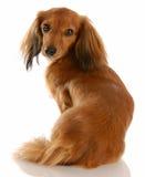 Dachshund diminuto de cabelos compridos fotografia de stock