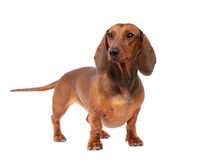 Dachshund Dog. Short haired Dachshund Dog isolated over white background Stock Images