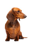 Dachshund Dog. Short haired Dachshund Dog isolated over white background Royalty Free Stock Photography