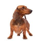 Dachshund Dog Royalty Free Stock Images