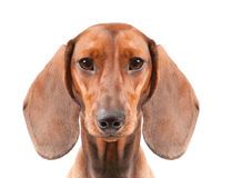 Dachshund Dog Royalty Free Stock Photos