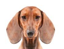 Dachshund Dog. Short haired Dachshund Dog isolated over white background Royalty Free Stock Photos