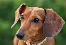 Dachshund dog Royalty Free Stock Photo
