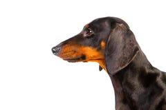 Dachshund Dog. On isolated white background Royalty Free Stock Photos