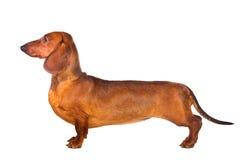 Dachshund Dog. Isolated over white background Royalty Free Stock Image
