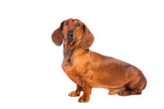 Dachshund dog Royalty Free Stock Images
