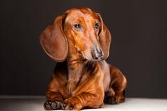 Dachshund Dog. Red Dachshund Dog lying on gray background Royalty Free Stock Photos