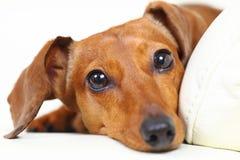 Dachshund dog Stock Image