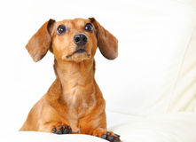 Dachshund Dog Stock Photos