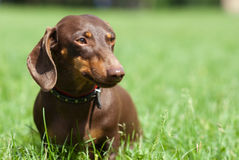 Dachshund dog. Walking on the green grass Stock Photography