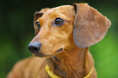 Dachshund dog Stock Photo