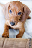 Dachshund dog. Looks at camera royalty free stock photos