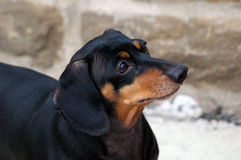 Dachshund dog. Side portrait of black and tan Dachshund dog outdoors stock photography