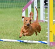 Dachshund at a Dog Agility Trial. Dachshund Leaping Over a Jump at a Dog Agility Trial Stock Photo