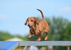 Dachshund at a Dog Agility Trial Stock Image