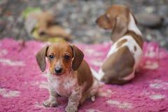 Dachshund Dog autumn season Garden. Day light Royalty Free Stock Images