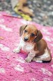 Dachshund Dog autumn season Garden. Day light Royalty Free Stock Photo
