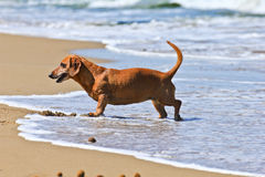 Dachshund dog on the beach. In tuscany Royalty Free Stock Image
