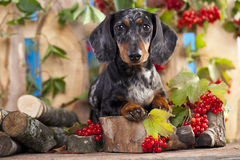 Dachshund dog and berry red Stock Photo