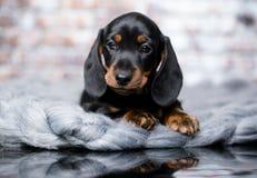 Free Dachshund Dog Black-tan Stock Image - 118230451