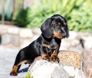 Free Dachshund Dog Black-tan Royalty Free Stock Photos - 118230558