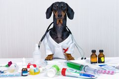 Dachshund dog, black and tan, as a medical veterinary doctor with stethoscope, standing on the table with medical equipment and me. Dicines, syringe, pills stock image