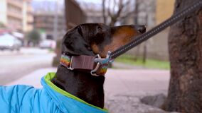 A dachshund dog rests and does not want to leave the walk