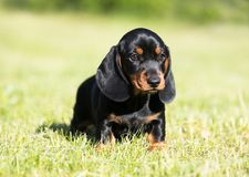 Dachshund dog black-tan. Dachshund puupy dog black-tan in grenn grass background royalty free stock image