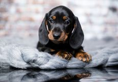 Dachshund dog black-tan. Dachshund puupy dog black-tan in grey background stock image