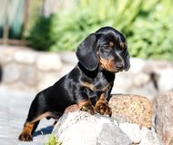 Dachshund dog black-tan. Dachshund puupy dog black-tan in grey background royalty free stock photos