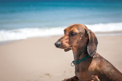 Dachshund dog on a boat on the beach Royalty Free Stock Photos