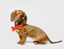 Dachshund Dog in Bow Tie on White, Animal Dressed Clothing Royalty Free Stock Photo