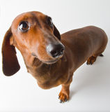 Dachshund dog breed Stock Photos